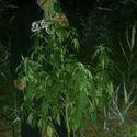 jamajskie pomidory w plenerze?