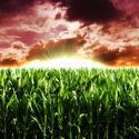 Pole kukurydzy