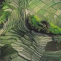 hodowla ryżu w chinach