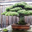 Najstarsze drzewka Bonsai