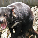łac. Sarcophilus harrisii- Diabeł Tasmański