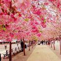Sakura, Japonia.