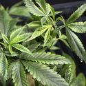 Lecznicza marihuana? Nadzieja dla milionów chorych..