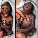 Mały goryl