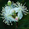 kwiatostan czereśni surinamskiej
