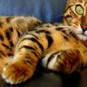 Tygrys dachowy..