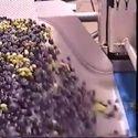 Komputerowe sortowanie jagód