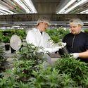Marihuana legalna w kolejnym stanie. Po Waszyngtonie i Kolorado czas na Alaskę