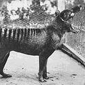 tygrys tasmański