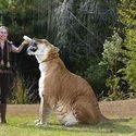 Hercules - hybryda tygrysa i lwa