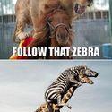 goń tą zebrę