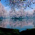 Kwiat wiśni (Japonia)