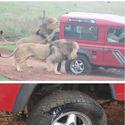 Safari - niezapomniane wrażenia.