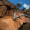 kameleon z wyspy Sokotra