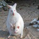 Biały Kangur