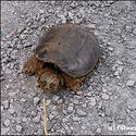 Dziki żółw