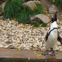 HOLENDERSKI PINGWIN