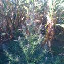 Takie tam, w kukurydzy...
