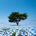 morze 4.5 miliona kwiatów japonia