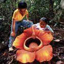 Rafflesia Arnoldii -the largest individual flower on earth.