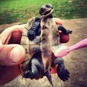 Mycie żółwia.