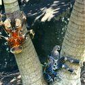 Krab palmowy (kokosowy)