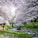 kwitnące wiśnie w Tokyo