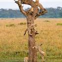 Drzewo kotologiczne